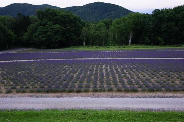 ハイランドふらの ラベンダー畑