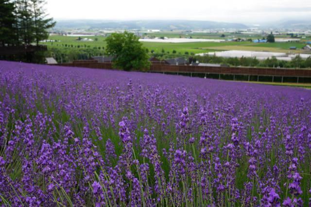 丘の上のラベンダー畑は穴場