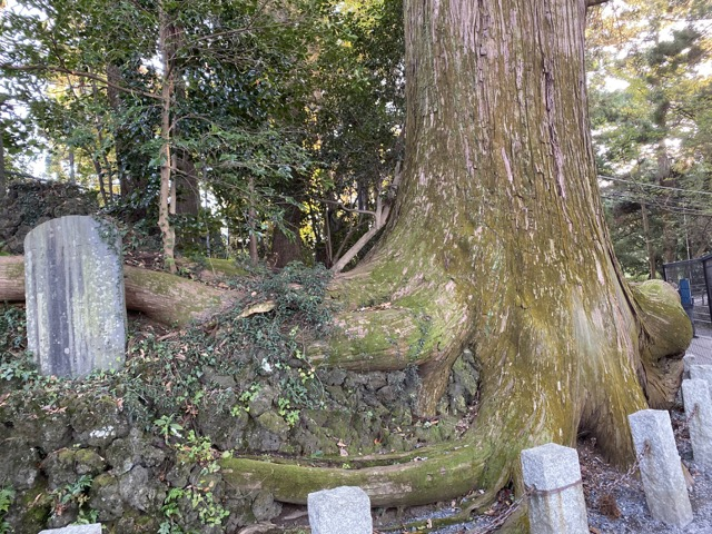 高尾山のタコ杉